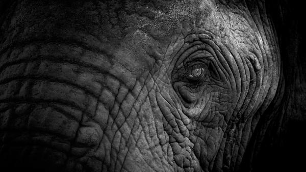 Ausschnitt eines Elefantengesichts